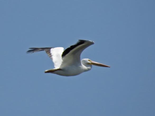 Westport American White Pelican