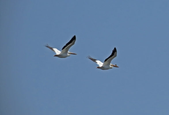 Westport American White Pelicans