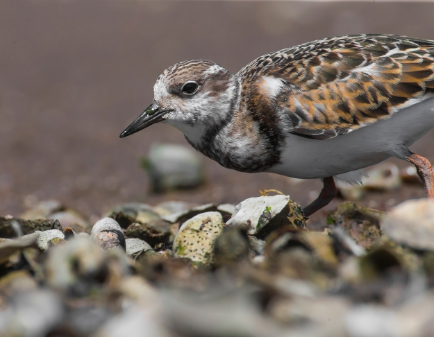 bs5r1517ps-ruddy-turnstone