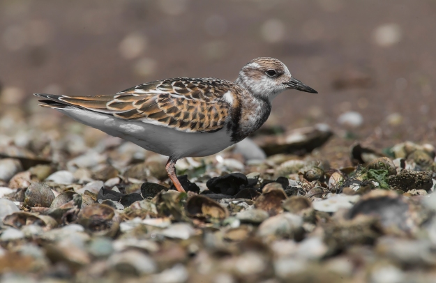 bs5r1591ps-ruddy-turnstone