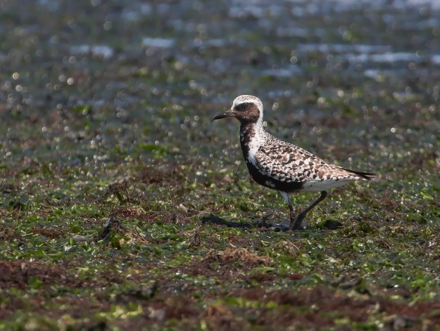 bs5r1651ps-black-bellied-plover