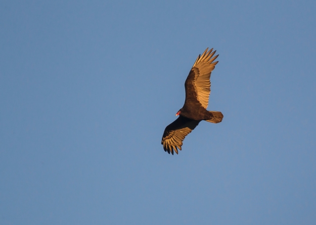 a06e4830ps-turkey-vulture